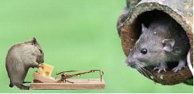 Uništavanje miševa