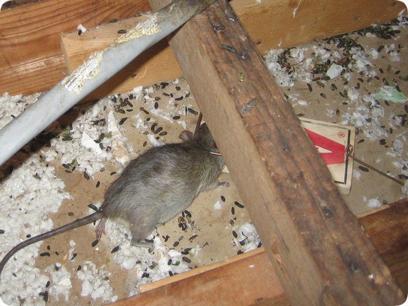 Deratizacija pacova